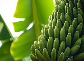 Boron Sweetens Production Outcomes for Banana Growers
