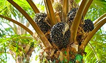 Better Palm Oil Yields with Boron