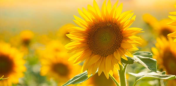 Not Just a Pretty Face: Boron Benefits for Sunflowers | U S  Borax