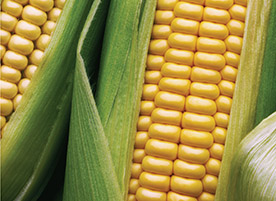 Boron: The Secret to Higher Corn Yields