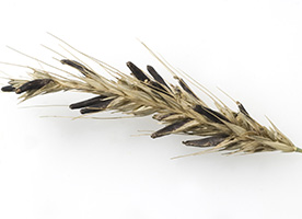 Manage Boron Availability to Manage Ergot Infection