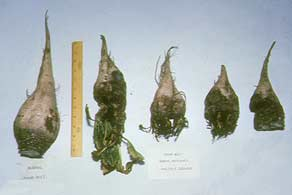 Sugar Beet Multiple Crowns