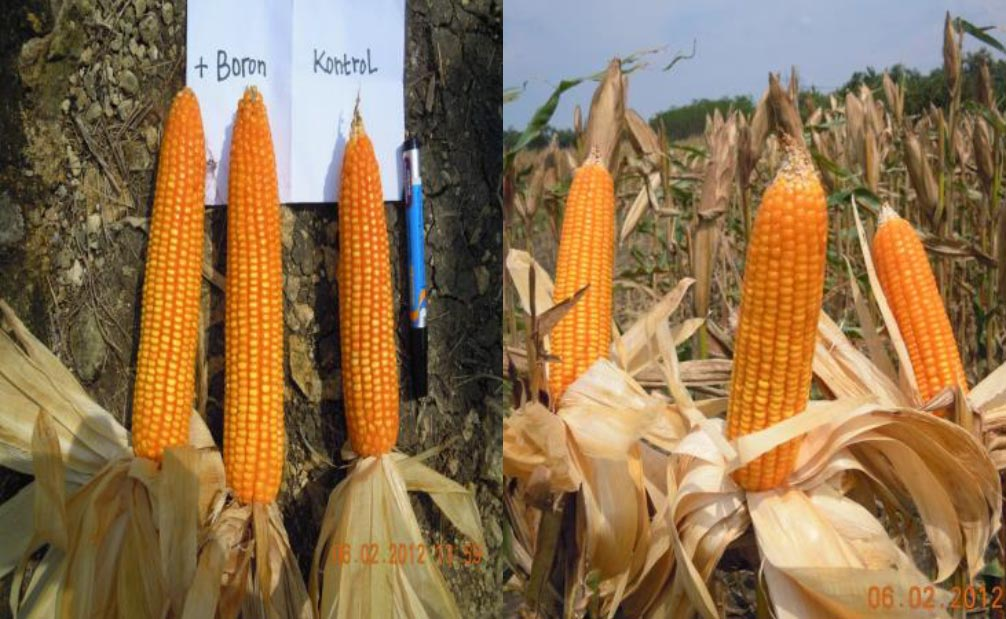 Corn comparisons 101 days after planting