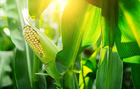 Corn: Boron applications for increased yields of high-yield field corn and sweet corn