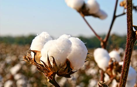 Cotton: Boron applications for increased yields